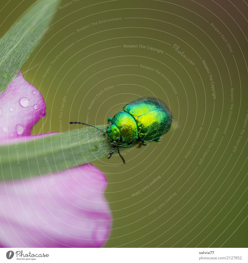 brilliant parade Nature Summer Plant Flower Blossom Garden Animal Beetle Insect Mallow plants 1 Crawl Glittering Beautiful Gold Green Pink Uniqueness Colour