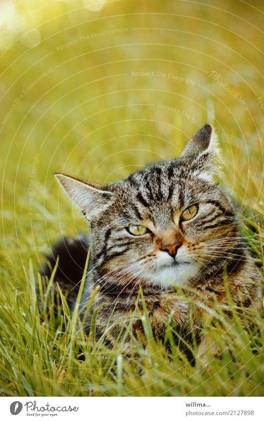 Cat Animal Meadow Lie Observe Pet Striped