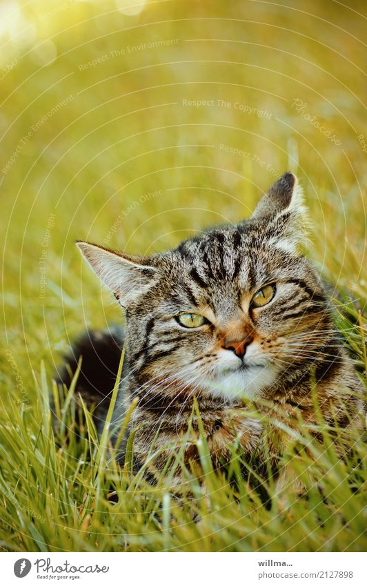 striped domestic cat in the grass Domestic cat Meadow Animal Pet Cat 1 Observe Lie Animal portrait Striped Tiger skin pattern Looking into the camera green eyes