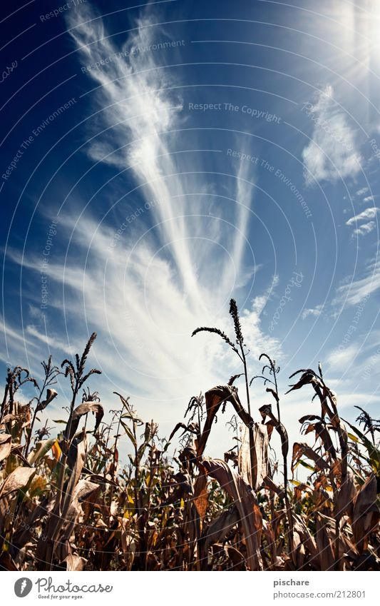 Nature Beautiful Sky Blue Clouds Far-off places Field Blue sky Maize Agricultural crop