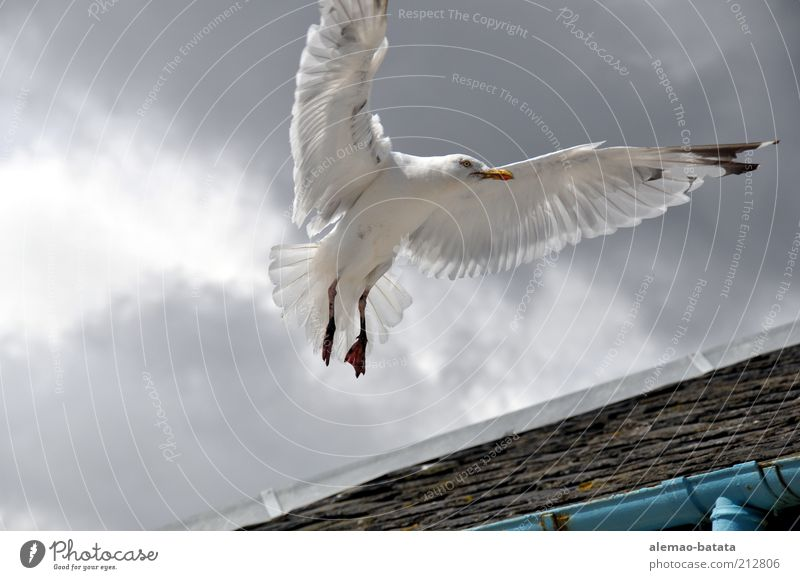scottish sea gull Animal Wild animal Bird Wing 1 Power Elegant Majestic Feather Seagull Flying Hover Clouds Span Disperse Gray Back-light Colour photo