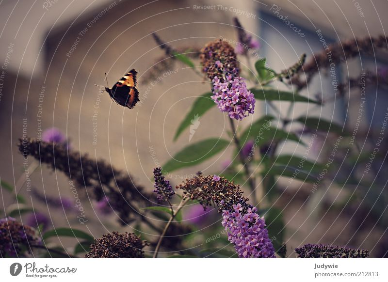 Fly away Environment Nature Spring Summer Plant Bushes Blossom Buddleja Garden Small Town House (Residential Structure) Animal Butterfly Wing Movement Flying