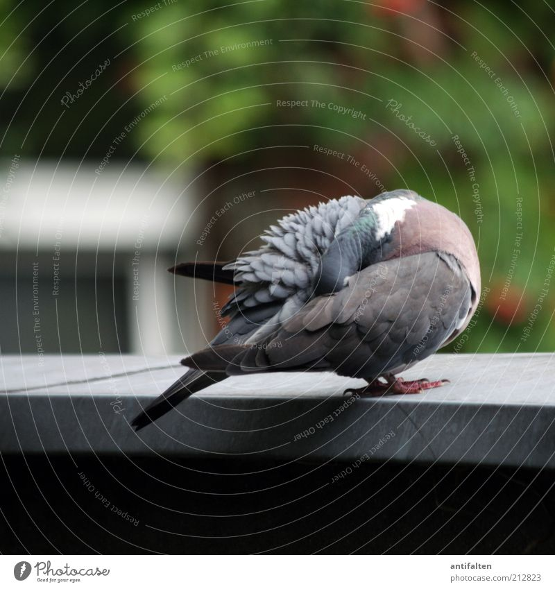 Nature Green Summer Animal Gray Spring Sit Exceptional Wing Feather Clean Hide Pigeon Claw Plumed Bird