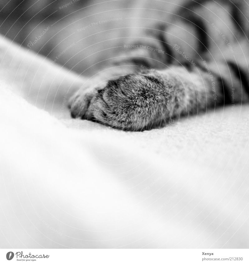 lazy Pet Cat 1 Animal To enjoy Sleep Contentment Serene Relaxation Calm Cat's paw Black & white photo Close-up Copy Space bottom Shallow depth of field Paw Gray