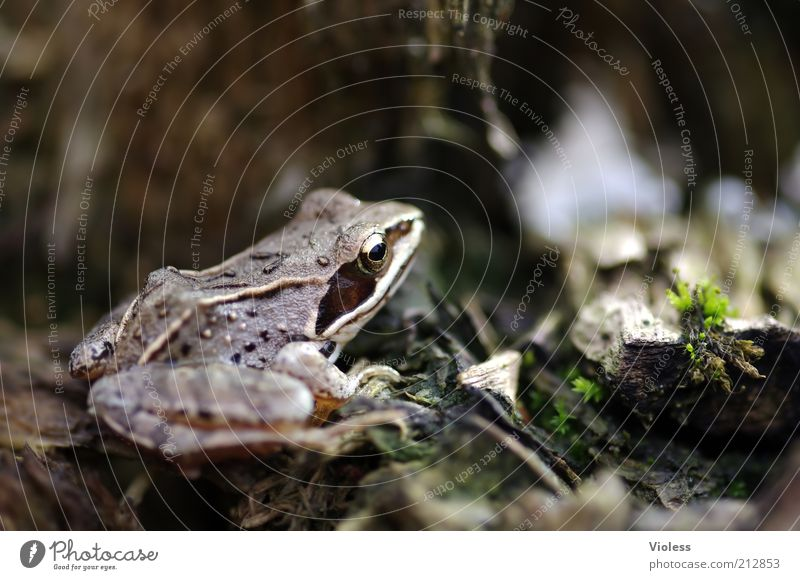 Nature Animal Brown Gold Frog Brownish Frog eyes