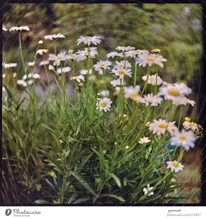 Nature Green Beautiful Plant Summer Flower Environment Blossom Spring Natural Growth Many Blossoming Marguerite Sustainability Foliage plant