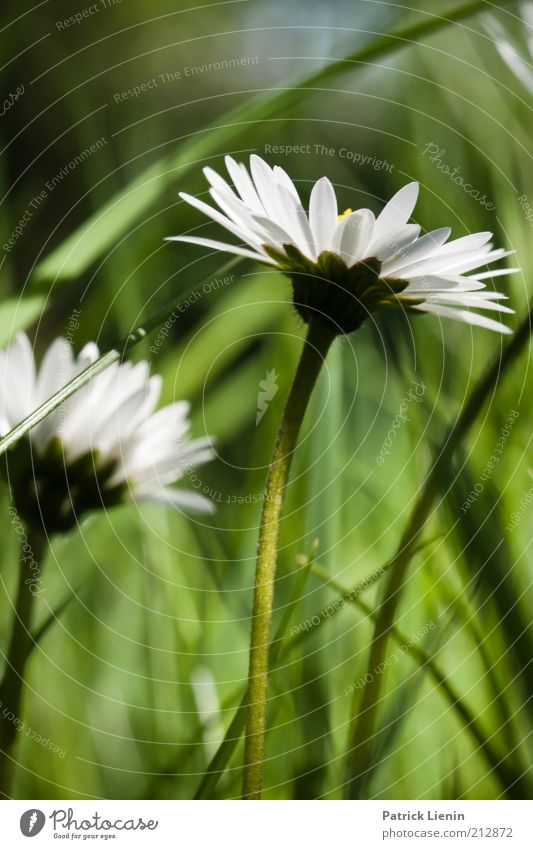 back to spring Environment Nature Plant Earth Spring Beautiful weather Flower Grass Blossom Foliage plant Wild plant Meadow Daisy asteracea White Green Calm
