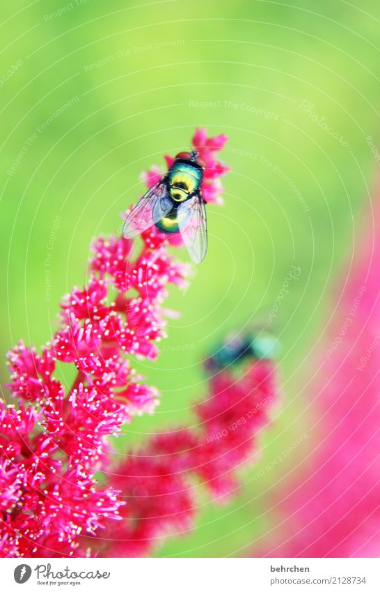 showpiece Nature Plant Animal Summer Flower Blossom Garden Park Meadow Fly Wing 1 Observe Blossoming Fragrance Flying To feed Beautiful Green Pink Red