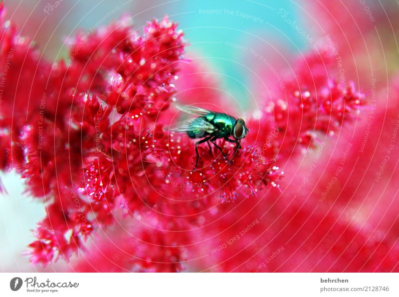fly to spiere Nature Plant Animal Summer Beautiful weather Flower Blossom Garden Park Meadow Fly Animal face Wing 1 Observe Blossoming Fragrance Faded Growth