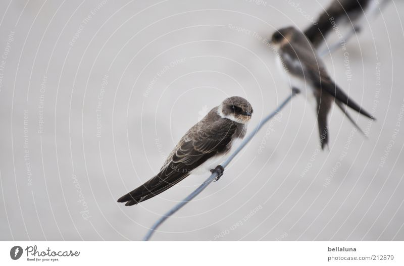 sand martins Nature Animal Wild animal Bird Wing Claw 2 Swallow Sand martin Colour photo Subdued colour Exterior shot Day Close-up Pair of animals Sit Feather