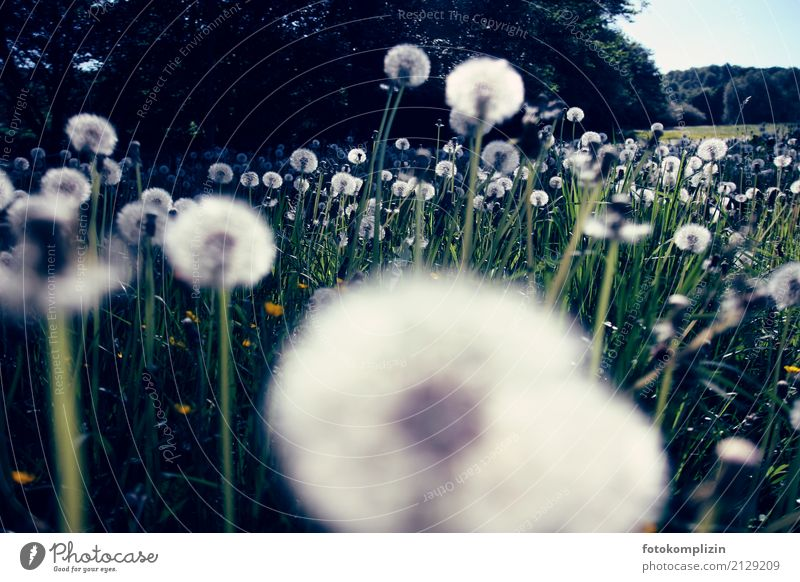 puff flowers Environment Nature Landscape Plant Spring Summer Grass Blossom Meadow Field Dandelion Dandelion field Blossoming Illuminate Green White Happiness