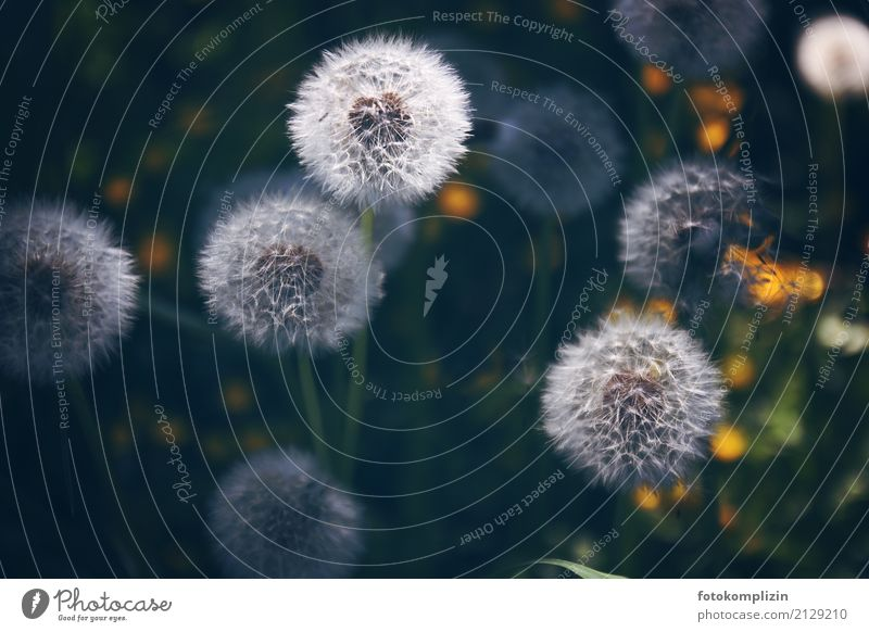 puff flowers 3 Nature Plant Spring Summer Meadow Seed Dandelion Blossoming Illuminate Happiness Soft Green White Spring fever Uniqueness Idyll Infancy