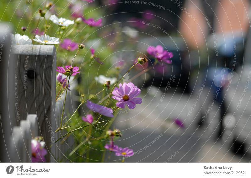 White Green Beautiful Plant Summer Flower Street Lanes & trails Warmth Garden Happy Blossom Car Growth Idyll Violet