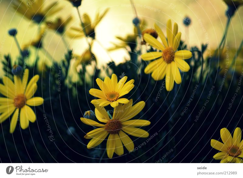 Nature Beautiful Green Plant Summer Yellow Blossom Spring Blossoming Marguerite Blossom leave