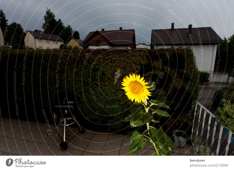 Plant Summer Calm Blossom Sunflower Terrace Hedge Covered Perspective Storm clouds Clouds in the sky Cloud cover