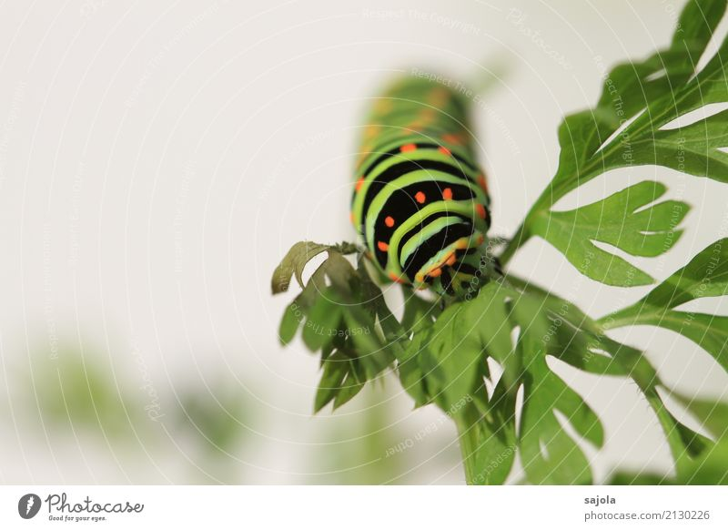 carrot caterpillar - eat Animal Plant Wild animal Caterpillar 1 To feed Esthetic Green Orange Black Striped Spotted Pattern Butterfly Metamorphosis To hold on