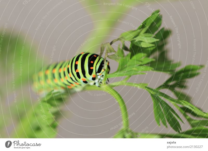 carrot caterpillar - eat and hold on Environment Animal Plant Wild animal Butterfly Caterpillar 1 To hold on To feed Esthetic Green Orange Black Striped Spotted