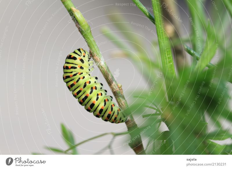 carrot caterpillar - before pupation Animal Plant Wild animal Butterfly Caterpillar Swallowtail swallow-tailed caterpillar 1 To hold on Esthetic Green Orange