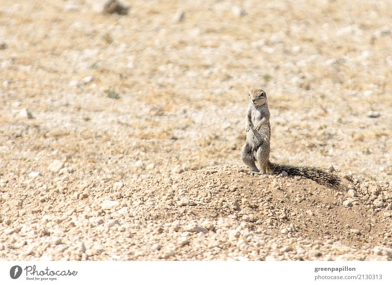 ground squirrel Vacation & Travel Tourism Trip Adventure Far-off places Freedom Safari Expedition Summer vacation Environment Nature Landscape Earth Sand Desert