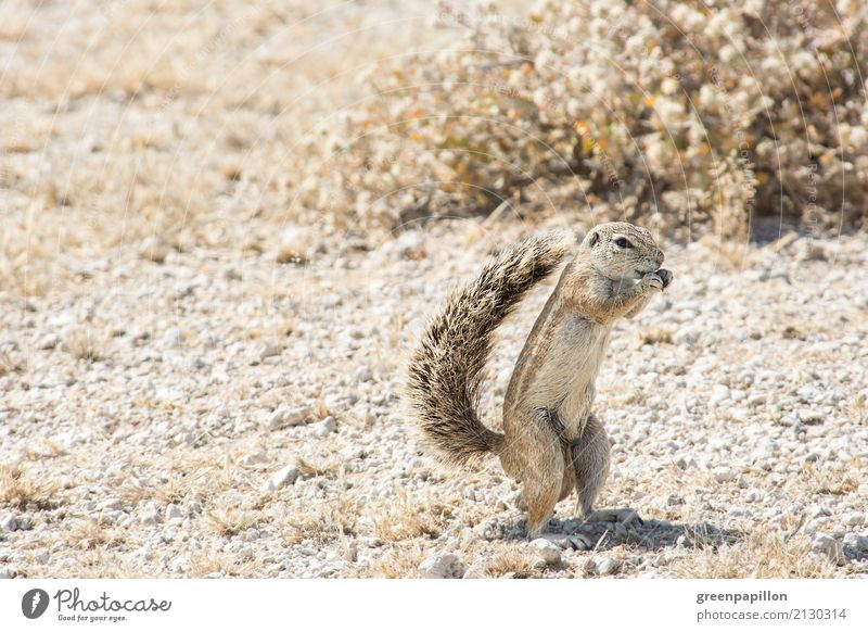 ground squirrel Nature Landscape Drought Desert Namibia South Africa Ground squirrel Rodent Eating Brown Safari Tourism Vacation & Travel Trip Wild Wilderness