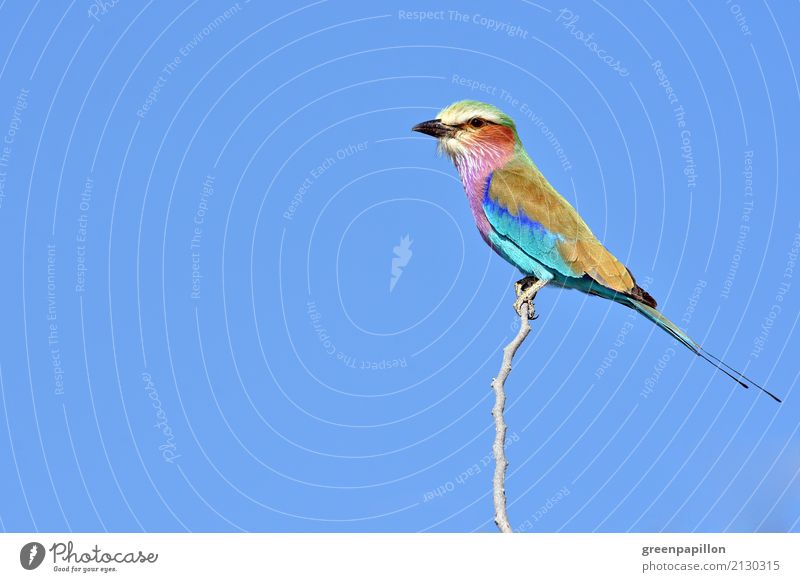 Colourful poultry - Forked Roller in Namibia Nature Animal Air Sky scrub Savannah Bird Flying Blue Multicoloured Optimism Freedom Etosha pan National Park