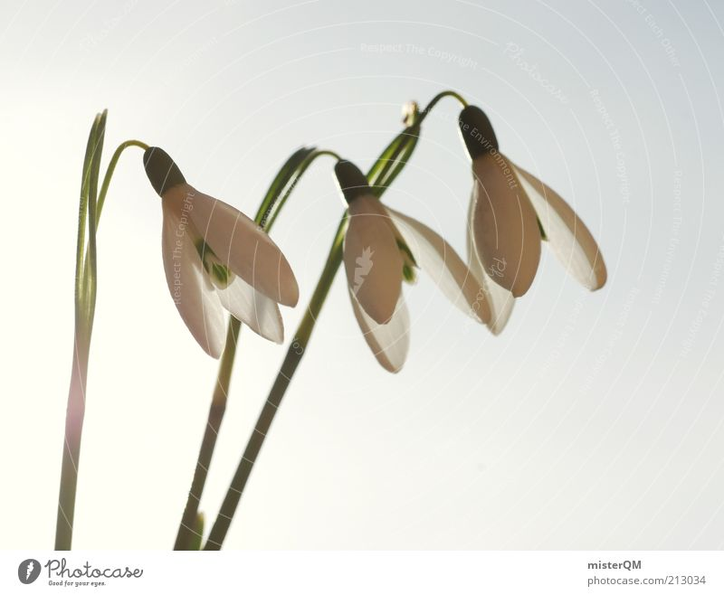 Anticipation. Environment Nature Plant Esthetic Snowdrop Spring Spring flower Spring day Seasons Weather Spring flowering plant White Growth Stalk Blossom 3