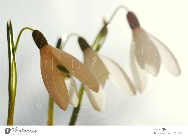 Warm cold. Environment Nature Plant Climate Weather Beautiful weather Esthetic Snowdrop White Spring Seasons Blossoming Spring flowering plant 3 Flower