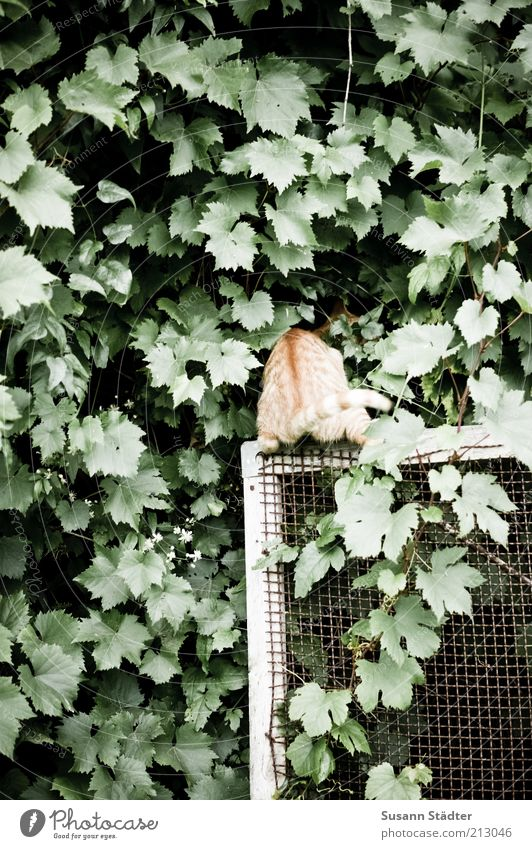 peephole Plant Garden Animal Cat uncontrolled growth Virginia Creeper Ivy Tendril Fly screen Curiosity Search Hide Interest Playing Play instinct Kitten