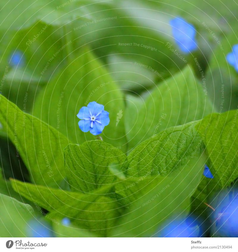 Nature Plant Blue Beautiful Green Flower Leaf Blossom Spring Small Garden Park Growth Blossoming Friendliness Rachis
