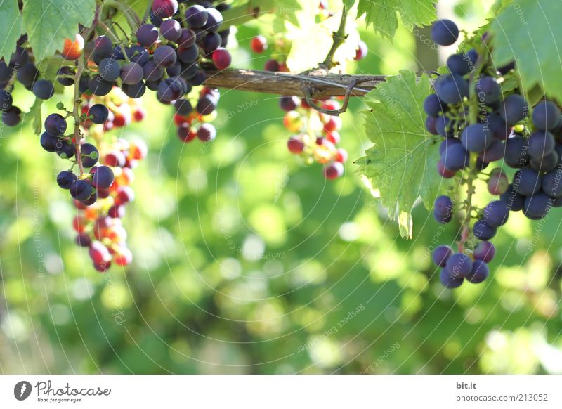 vineyard Food Fruit Organic produce Nature Autumn Leaf Fresh Blue Violet Bunch of grapes Harvest Agriculture Growth Point of light Thanksgiving Healthy