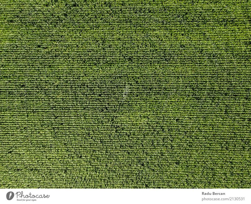 Aerial Drone View Of Green Corn Plantation Ready For Harvest Nature Summer Colour Landscape Leaf Environment Meadow Grass Above Earth Field Vantage point