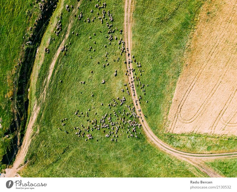 Aerial Drone View Of Sheep Herd Feeding On Grass Environment Nature Landscape Animal Summer Agricultural crop Meadow Field Hill View from the airplane