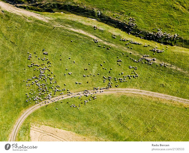 Aerial Drone View Of Sheep Herd Feeding On Grass Environment Nature Landscape Animal Summer Meadow Field Hill View from the airplane Farm animal