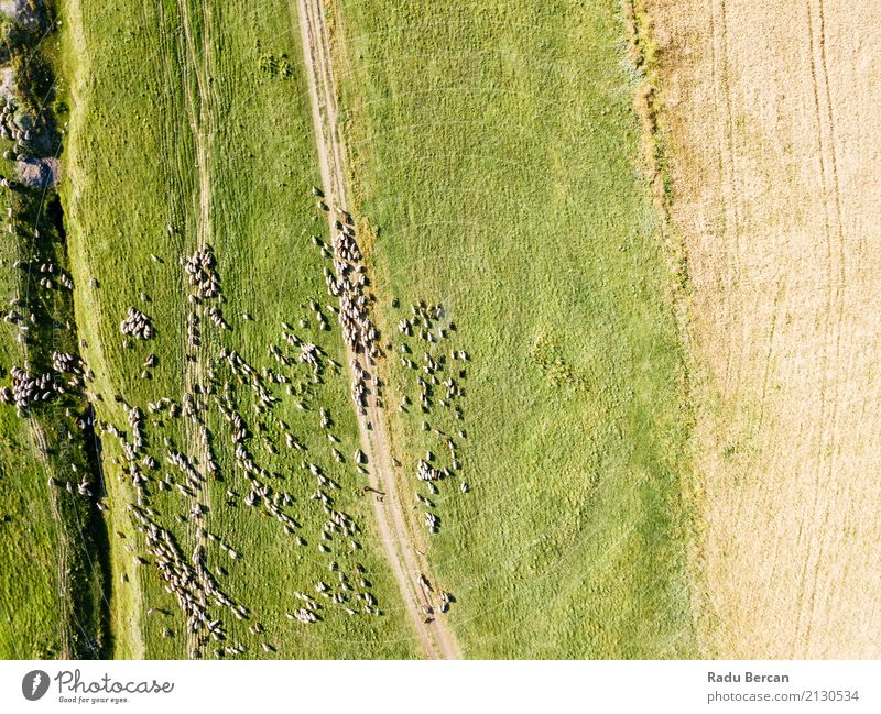 Aerial Drone View Of Sheep Herd Feeding On Grass Environment Nature Landscape Animal Summer Beautiful weather Meadow Field Hill View from the airplane