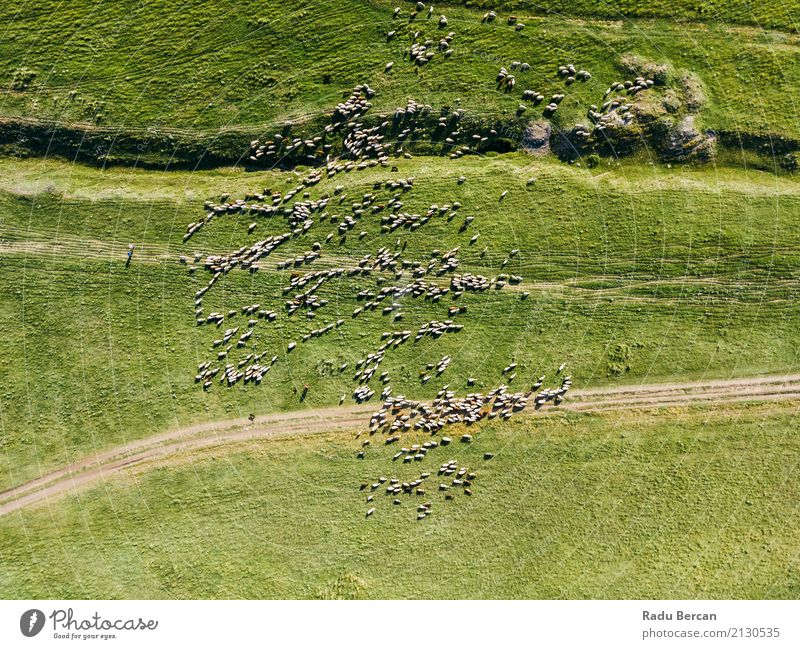 Aerial Drone View Of Sheep Herd Feeding On Grass Nature Summer Green Landscape Animal Far-off places Environment Meadow Above Field Vantage point Europe