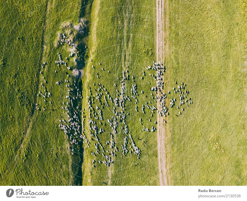 Aerial Drone View Of Sheep Herd Feeding On Grass Environment Nature Landscape Animal Earth Summer Meadow Field Hill View from the airplane Farm animal