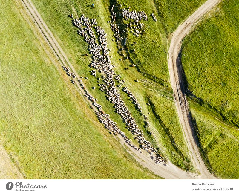 Aerial Drone View Of Sheep Herd Feeding On Grass Environment Nature Landscape Animal Earth Summer Beautiful weather Agricultural crop Meadow Field Hill Street