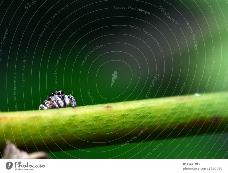 Small spider with big eyes Nature Animal Plant Spider Animal face 1 Looking Sit Wait Threat Black White Calm Jumping spider Zebra spider Colour photo