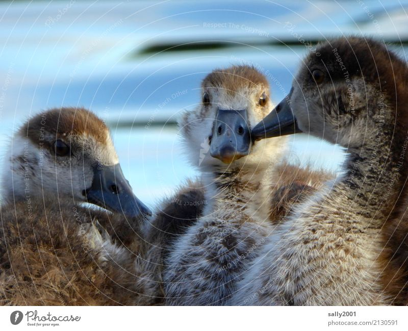 youth group Animal Goose Nile Goose 3 Group of animals Baby animal Observe To talk Communicate Brash Together Curiosity Cute Brown Relationship Attachment