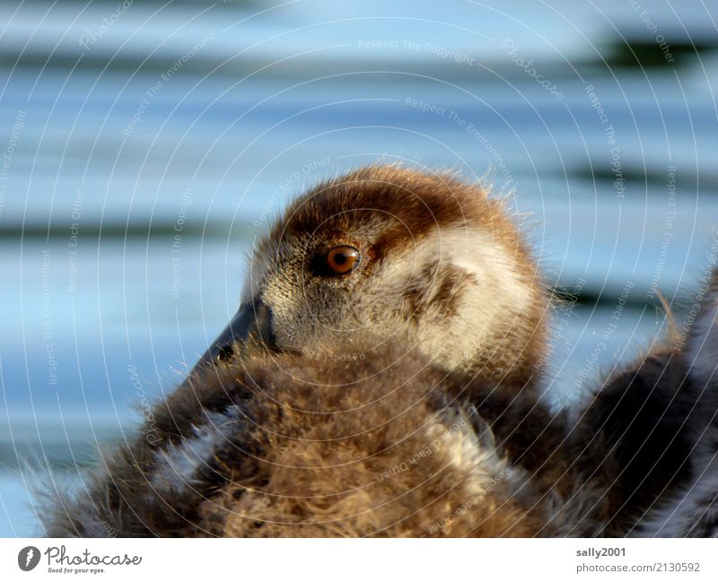straggler Animal Goose Nile Goose 1 Baby animal Observe Looking Brash Friendliness Curiosity Cute Brown Soft Eyes Beak Colour photo Exterior shot Day Sunlight