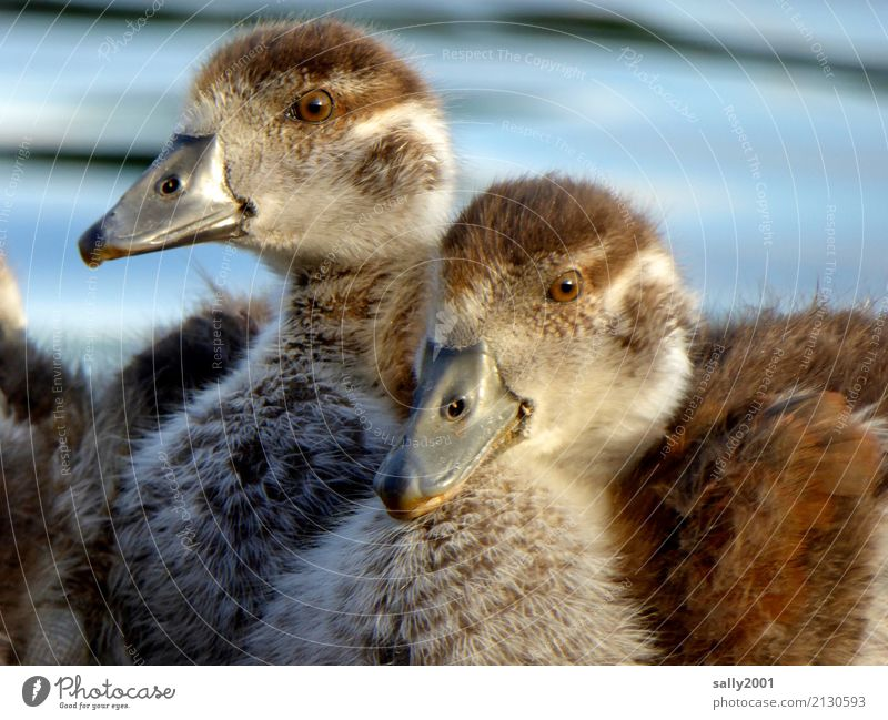 adolescent Animal Wild animal Animal face Goose Nile Goose 2 Observe Brash Together Cuddly Curiosity Soft Brown Infancy Baby animal Beak Chick