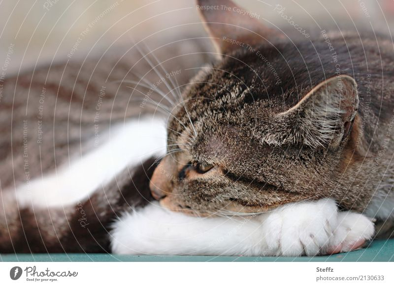 A quiet afternoon Animal Pet Cat Domestic cat Cat's head Cat eyes Cat's ears Cat's paw 1 Relaxation Lie Sleep Cute Brown White Trust Safety Safety (feeling of)