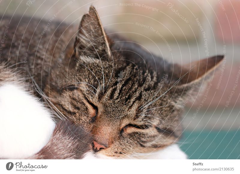 relaxation Nature Animal Pet Cat Animal face Pelt Cat's head Cat's ears Domestic cat Sleep Natural Beautiful Brown Trust Safety (feeling of) Warm-heartedness