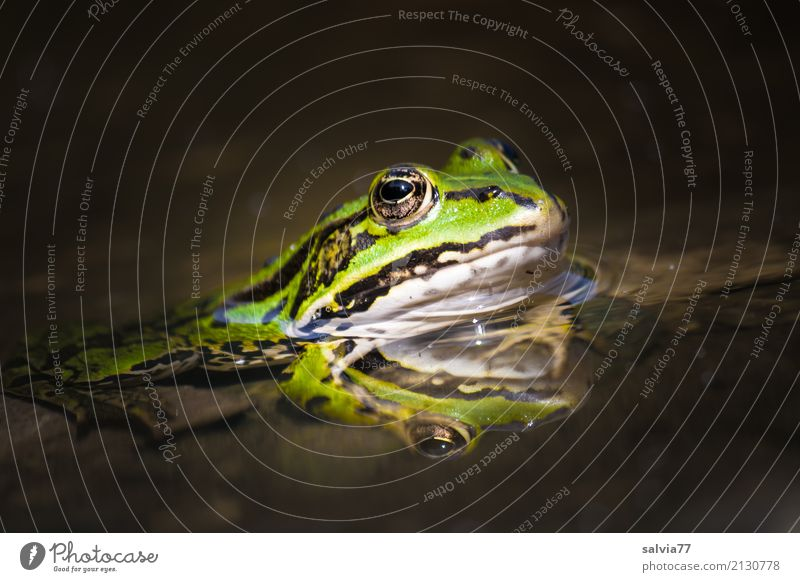 Nature Green Water Animal Calm Environment Brown Perspective Wait Watchfulness Hunting Animal face Pond Frog Fairy tale Patient