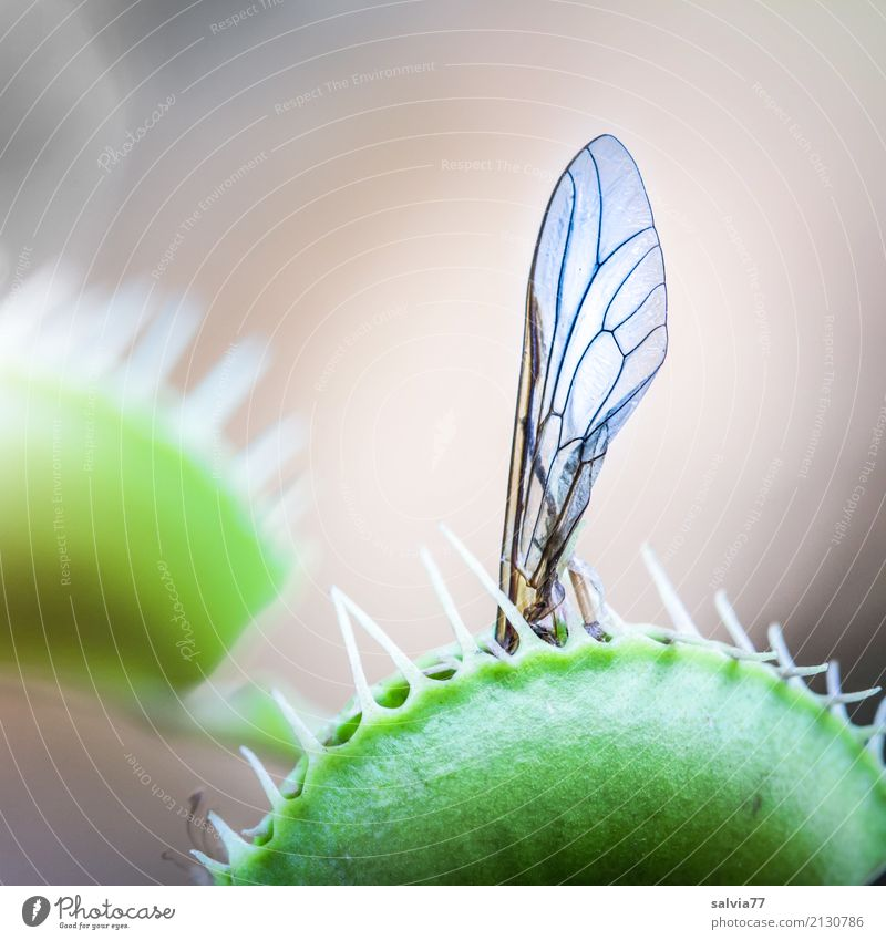 You broke one less fly. Environment Nature Plant Exotic Venus' flytrap Carnivore Bog Marsh Catch To hold on Wait Exceptional Threat Thorny Gray Green Bizarre