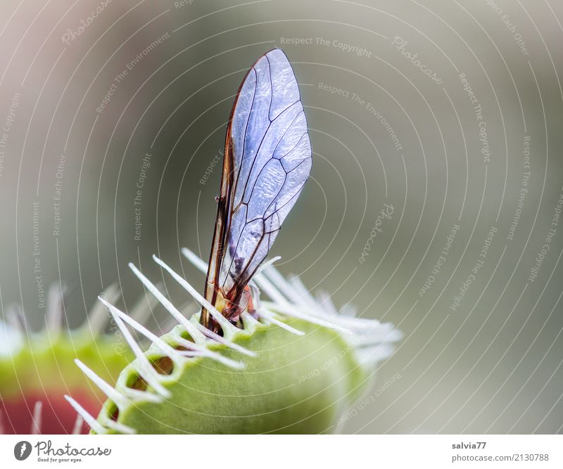 fly wings Plant Exotic Venus' flytrap Fly Wing Catch To feed Aggression Exceptional Point Thorny Gray Green Bizarre Uniqueness Threat Risk Whimsical Ambush