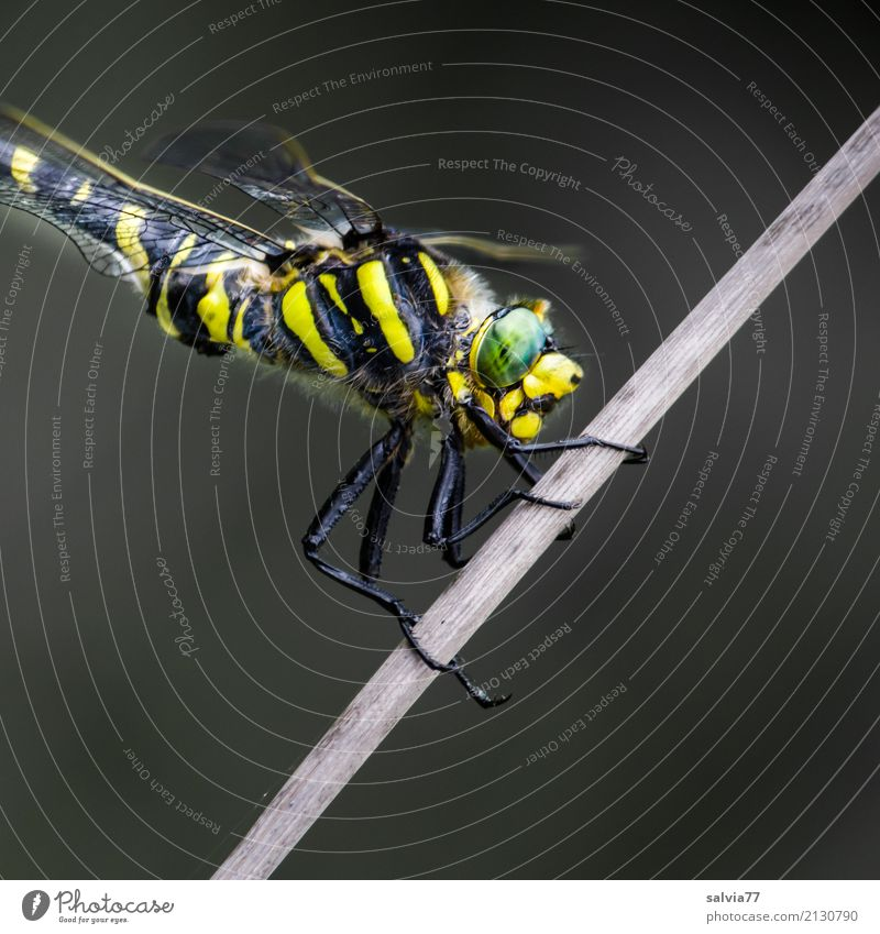 Everything at a glance Nature Animal Bog Marsh Dragonfly Big dragonfly Insect Compound eye 1 To hold on Hunting Wait Exotic Yellow Gray Green Black Watchfulness