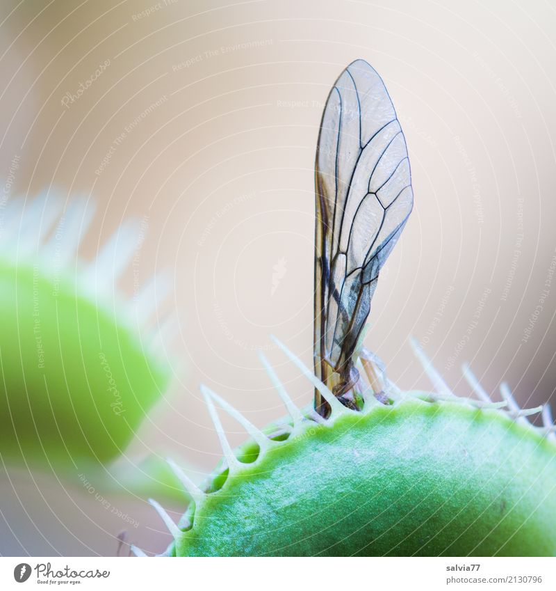 booby trap Nature Plant Insect Grand piano Venus' flytrap Green Carnivore Fly To feed Exceptional Exotic Dangerous Trap Macro (Extreme close-up) Threat