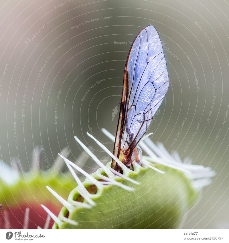 Surprise suddenly caught. Nature Plant Leaf Exotic Venus' flytrap Fly Wing Insect Touch Fragrance Catch Exceptional Astute Smart Point Whimsical Planning Speed