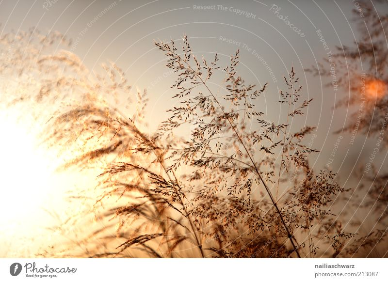 summer evening Environment Nature Landscape Plant Sun Sunrise Sunset Sunlight Summer Climate Weather Beautiful weather Grass Esthetic Warmth Brown Yellow Gold